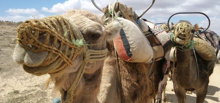 Kamele-Wueste-Tunesien